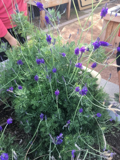 Michael's lavender plant that was receiving some TLC and pruning.